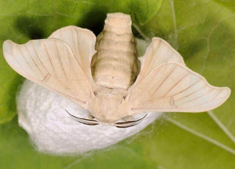 шелковая бабочка