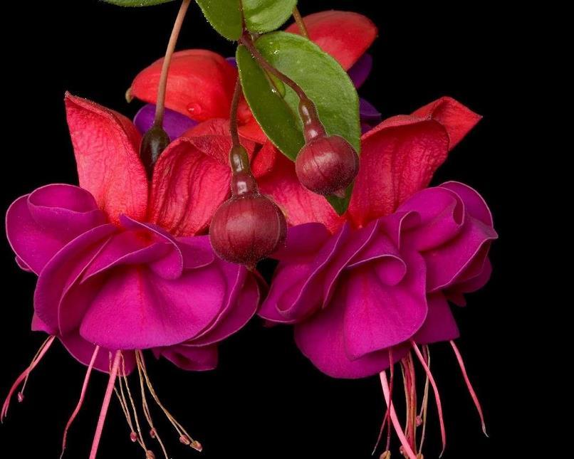 цветок цвета фуксия